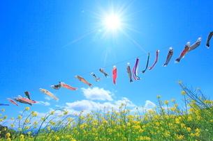 ナノハナ畑の鯉のぼりと太陽に光芒の写真素材 [FYI02097662]