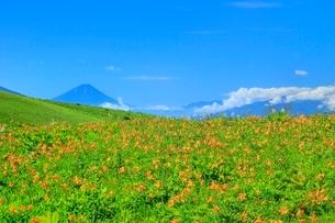 霧ケ峰高原に咲くニッコウキスゲの花の群落と富士山の写真素材 [FYI02097688]
