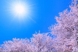 サクラと太陽に光芒の写真素材 [FYI02097721]
