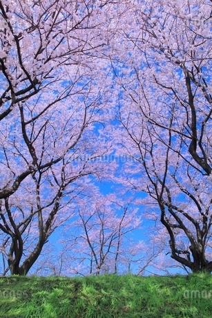 サクラ並木の写真素材 [FYI02097741]