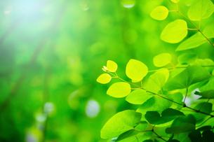 新緑のカツラアップの写真素材 [FYI02097752]