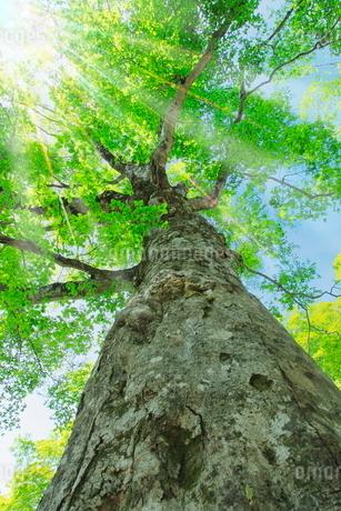 新緑のブナに光芒の写真素材 [FYI02097779]