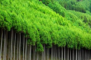 北山杉の林の写真素材 [FYI02098003]