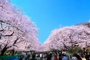 上野公園のサクラ並木の写真素材 [FYI02098015]