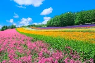 ファーム富田 彩りの畑(コマチソウ,カルフォルニアポピー)の写真素材 [FYI02098030]