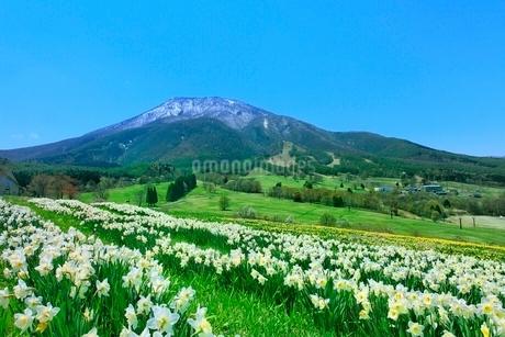 スイセンの花畑と黒姫山の写真素材 [FYI02098392]