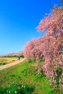 北上展勝地の桜並木と道の写真素材 [FYI02098422]