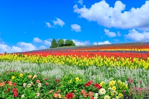 かんのファーム 花畑(ダリア,サルビア,キンギョソウ)と樹林 の写真素材 [FYI02098494]