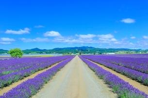 ラベンダーイースト ラベンダーの花畑と道の写真素材 [FYI02098500]