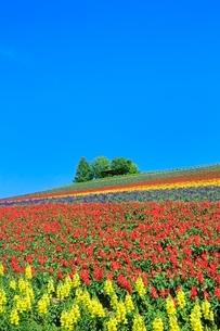 かんのファーム 花畑(キンギョソウ,サルビア)と樹林 の写真素材 [FYI02098580]