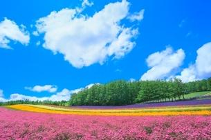 ファーム富田 彩りの畑(コマチソウ,カルフォルニアポピー)の写真素材 [FYI02098646]