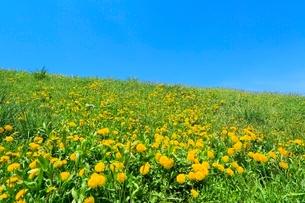 タンポポの花と青空の写真素材 [FYI02098768]