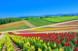 四季彩の丘 キンギョソウの花畑と大雪山(旭岳)の写真素材 [FYI02098810]