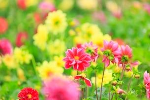 フラワーランド ダリアの花畑の写真素材 [FYI02098926]
