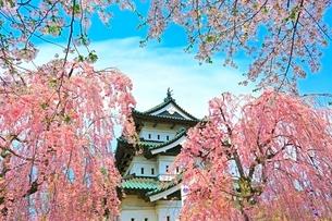 弘前公園の桜の写真素材 [FYI02099076]