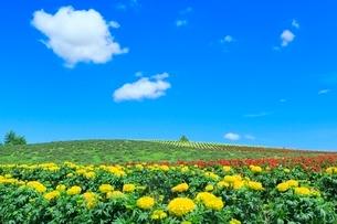 かんのファーム 花畑(マリーゴールド) の写真素材 [FYI02099084]