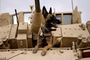 A military working dog sits on a U.S. Army M2A3 Bradley Fighの写真素材 [FYI02099109]