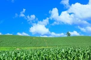 美瑛 トウモロコシ畑の丘と緑木の写真素材 [FYI02099114]