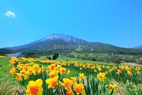 スイセンの花畑と黒姫山の写真素材 [FYI02099143]