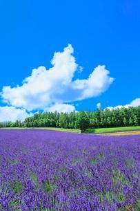 彩香の里 ラベンダーの花畑と入道雲の写真素材 [FYI02099308]