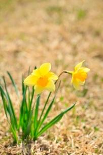 スイセンの花の写真素材 [FYI02099406]