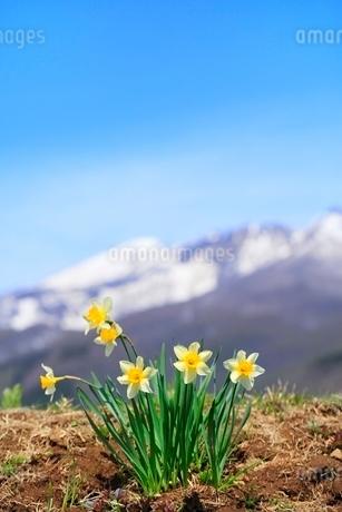スイセンと残雪の山の写真素材 [FYI02099489]