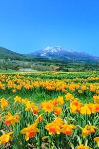 スイセンの花畑と妙高山の写真素材 [FYI02099491]