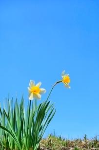スイセンの花の写真素材 [FYI02099565]