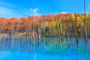 美瑛 青い池の紅葉の写真素材 [FYI02099610]