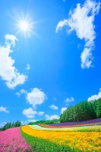 ファーム富田 彩りの畑(コマチソウ,カルフォルニアポピー) の写真素材 [FYI02099653]