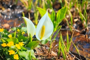 ミズバショウの花の写真素材 [FYI02099740]