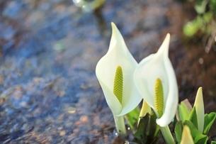 ミズバショウの花の写真素材 [FYI02099764]