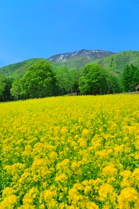 ナノハナ畑と黒姫山の写真素材 [FYI02099883]