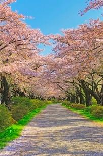 北上展勝地の桜並木と道の写真素材 [FYI02100155]