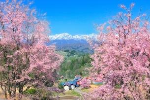 桜咲く立屋集落と残雪の北アルプス(鹿島槍・五竜岳)の写真素材 [FYI02100161]