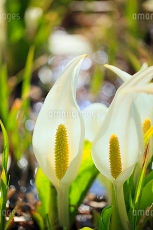 ミズバショウの花の写真素材 [FYI02100166]