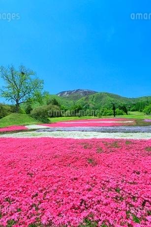 シバザクラと黒姫山の写真素材 [FYI02100178]