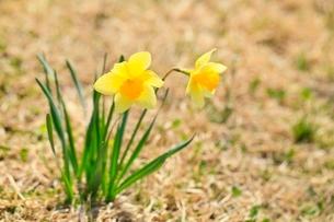 スイセンの花の写真素材 [FYI02100290]