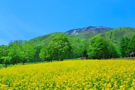 ナノハナ畑と黒姫山の写真素材 [FYI02100325]