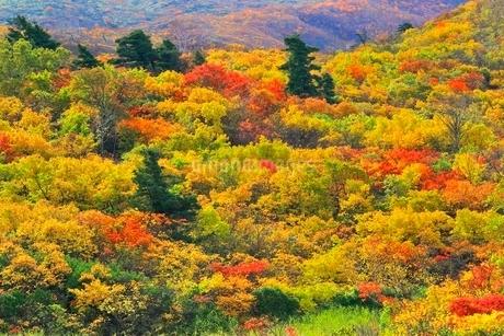 栗駒山 名残ヶ原の紅葉の写真素材 [FYI02100429]