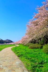 北上展勝地の桜並木と道の写真素材 [FYI02100442]