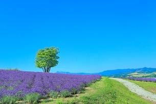 日の出公園 ラベンダーの花畑と緑木に道の写真素材 [FYI02100531]