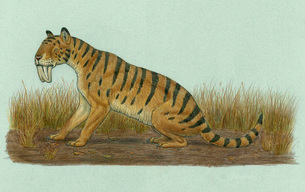Thylacosmilus atrox, a genus of sabre-toothed predator.のイラスト素材 [FYI02102648]