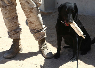 A black labrador sits with a chew toy next to his handler.の写真素材 [FYI02106851]