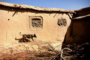 A U.S. Air Force K-9 searches for home-made explosives in an Afghan village.の写真素材 [FYI02107301]