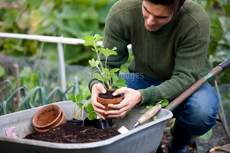 A young man potting strawberry plants on an allotmentの写真素材 [FYI02108828]