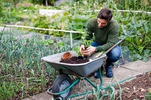 A young man potting strawberry plants on an allotmentの写真素材 [FYI02109783]