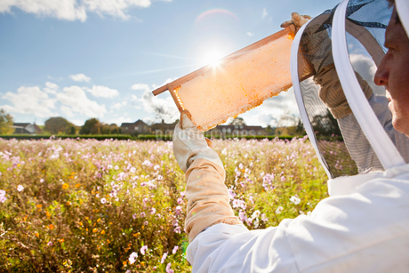 Beekeeper, holding beehive frame of honey up to the sun, in field full of flowersの写真素材 [FYI02113196]