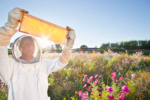 Beekeeper, holding beehive frame of honey up to the sun, in field full of flowersの写真素材 [FYI02113297]