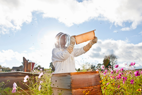 Beekeeper, holding beehive frame of honey up to the sun, in field full of flowersの写真素材 [FYI02113484]